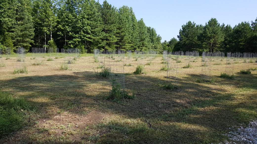 Longleaf pine progeny test