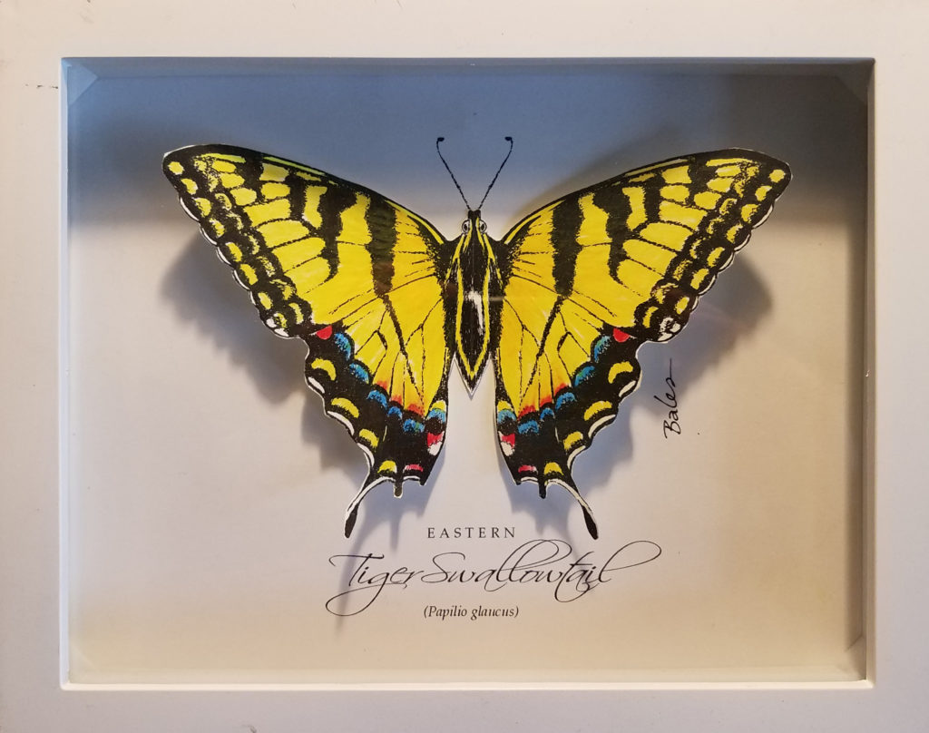 Image of Eastern Tiger Swallowtail butterfly shadowbox