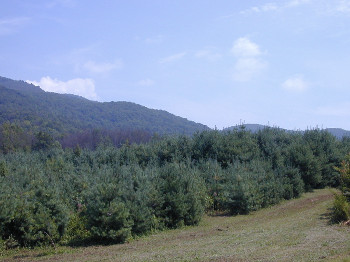 Pine plantings on Cumberland Forest